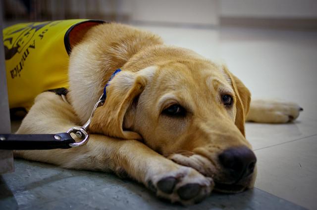 Perro Guía en formación